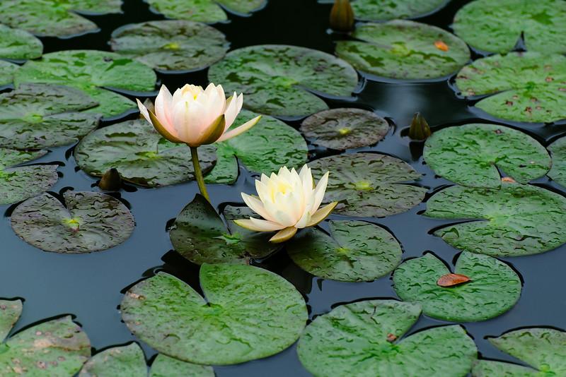 Lily Pad Thai