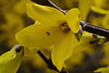DSC 9280   Forsythias are popular early spring flowering shrubs in gardens and parks. Two are commonly cultivated for ornament, Forsythia × intermedia and Forsythia suspensa. They are both spring flowering shrubs, with yellow flowers. They are grown and prized for being tough, reliable garden plants.