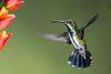 Female Green-breasted Mango Hummingbird