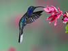 Male Violet Sabrewing Hummingbird