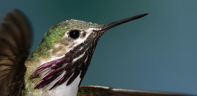Male Calliope Hummingbird