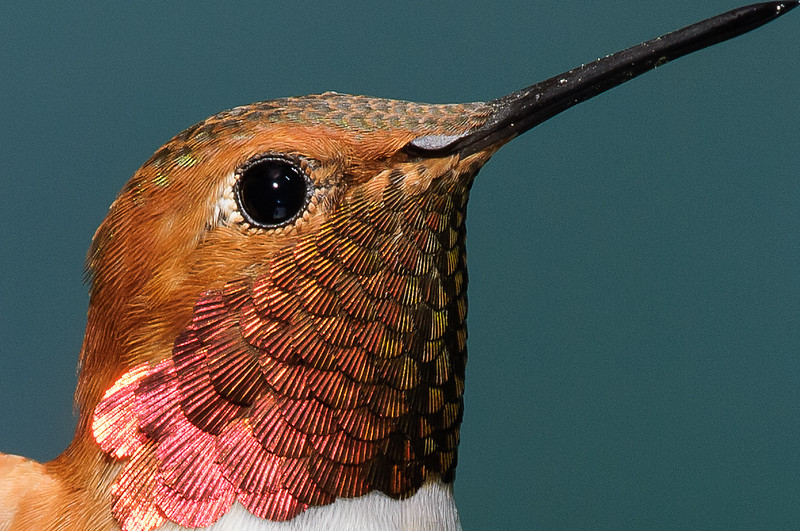 Male Rufous Hummingbird