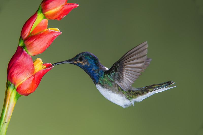 Male White-necked Jacobin Hummingbird
