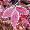 Frosty Blueberry Leaves