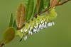 Wasp Larvae Get a Free Ride