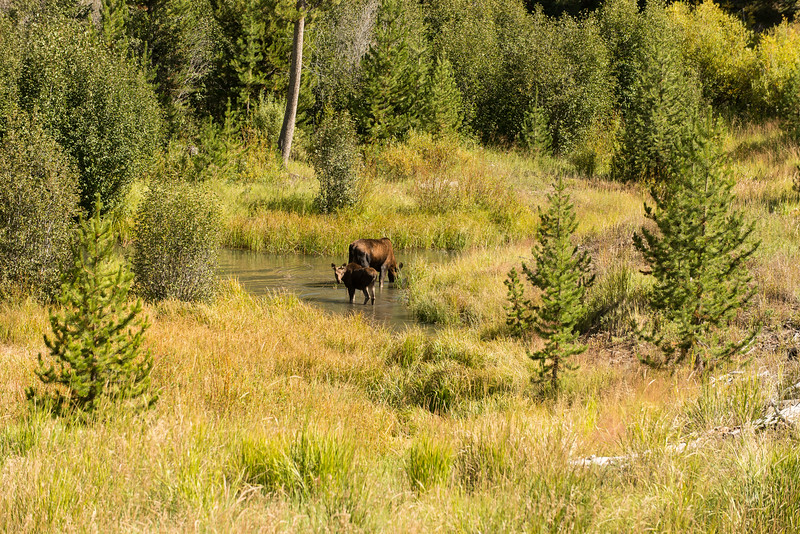 Mother and Calf at Yellowstone