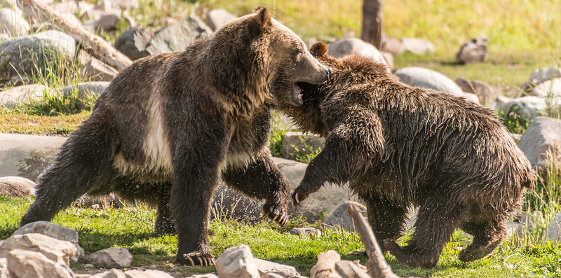 Sheltered Bears at Play