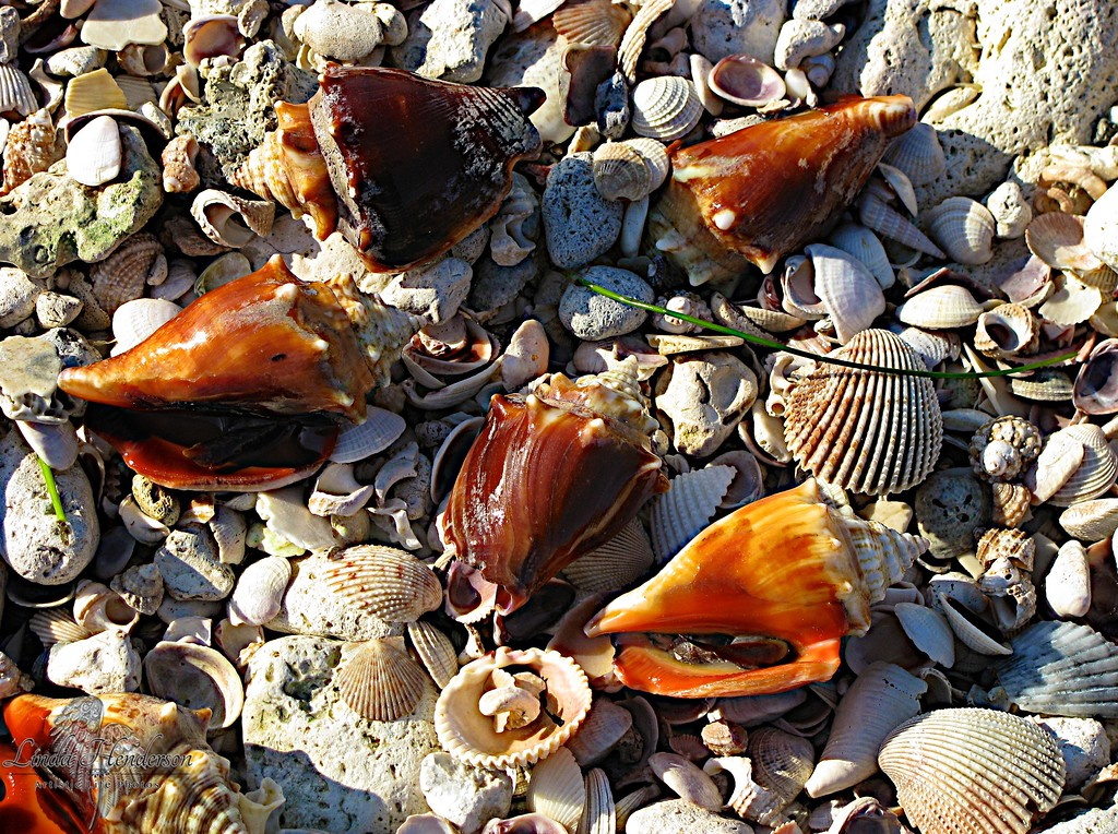 Seashells Florida