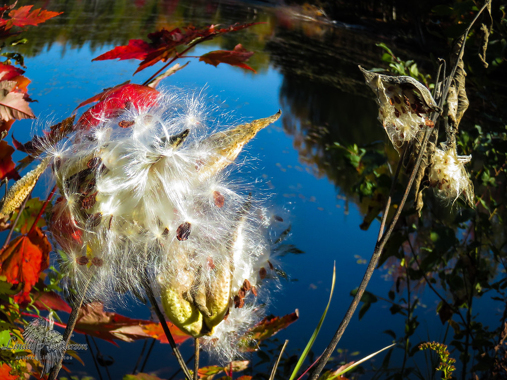 Milkweed on Lake In Laurentians