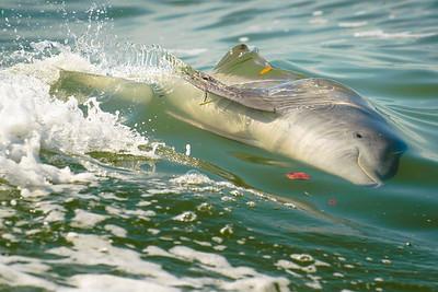 Walking the Dolphin, Sanibel Island FL, 2014.