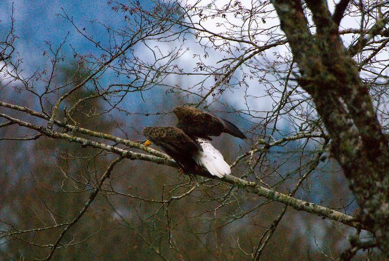 Bald Eagle (Haliaeetus leucocephalus) flying off a tree in Skagit River
