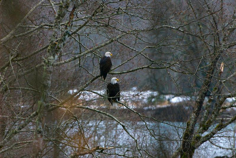 Bald Eagles (Haliaeetus leucocephalus) in Skagit River
