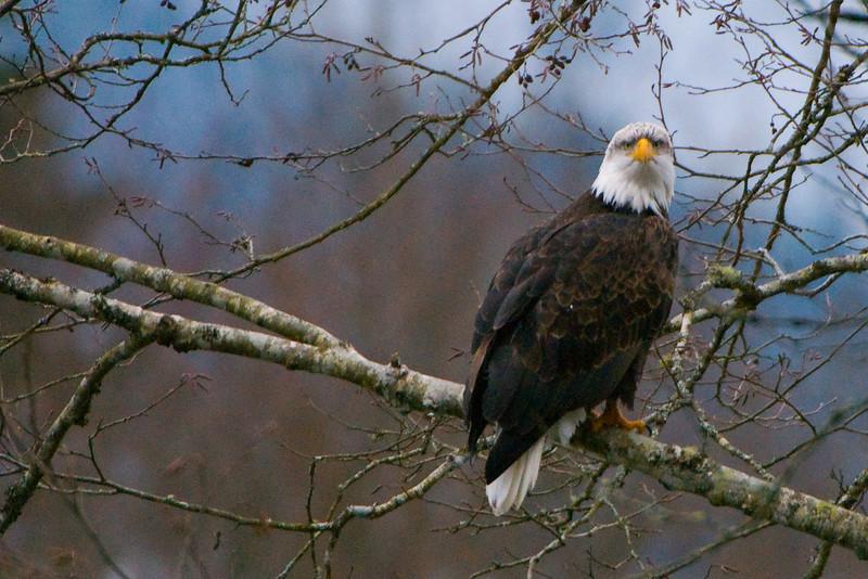 Bald Eagle (Haliaeetus leucocephalus) in Skagit River