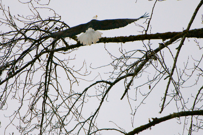 Bald Eagle (Haliaeetus leucocephalus) landing on a tree branch in Skagit River