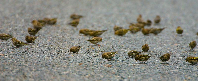 House Sparrows near Skagit River