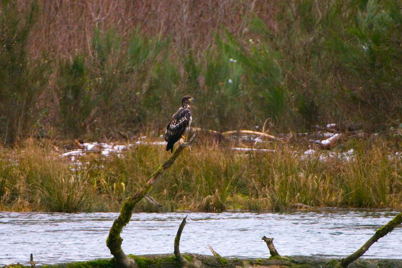 Juvenile Bald Eagle (Haliaeetus leucocephalus) in Skagit River