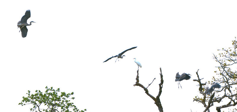 Timelapse sequence of a Heron landing. The image itself is a stich of two separate images. The four Herons is the same bird shown in the same relative position. The whole sequence took about 4 seconds in real time.