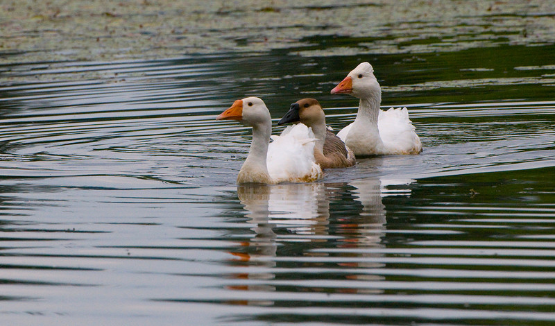 Pair of Mute Swans (Cygnus olor) with Gosling on Lake Borst