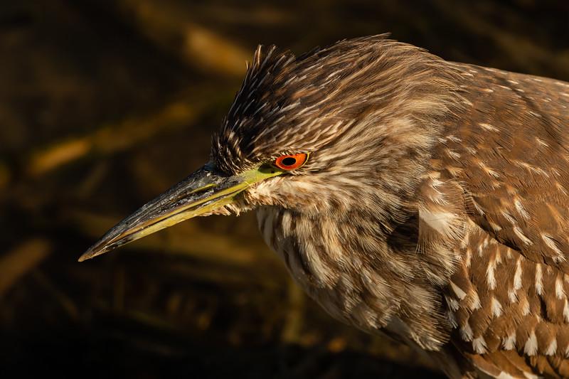 Juvenile Yellowcrowned Night Heron