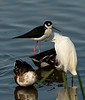 Blacknecked Stilt and Snowy Egret