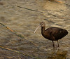 Whitefaced Ibis in winter plumage