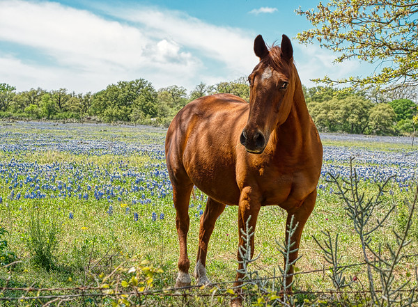 Horses and Bluebonnets on Willow City Loop