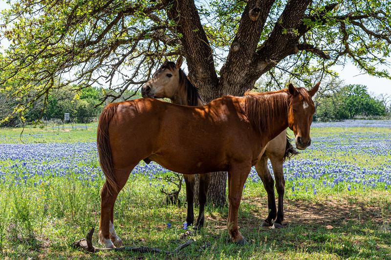 Horses In a Field of Bluebonnets