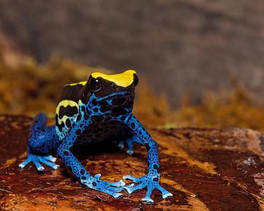 Dendrobates tinctorius Cobalt