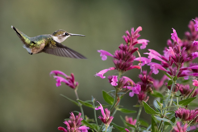 Hummingbird at Salvia 2