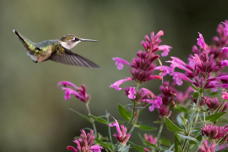 Hummingbird at Salvia 2