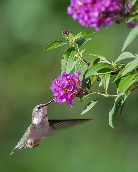 Hummingbird at Fuschia Butterfly Bush 2