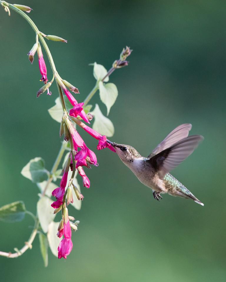 Hummingbird at Red Salvia 2