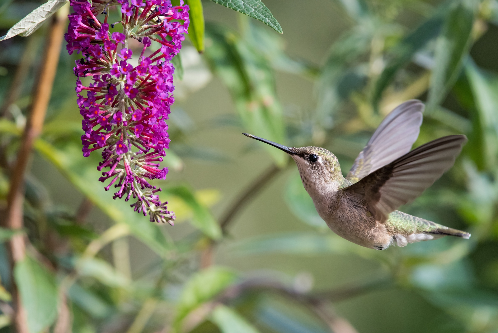 Hummingbird at hot pink butterfly bush 1