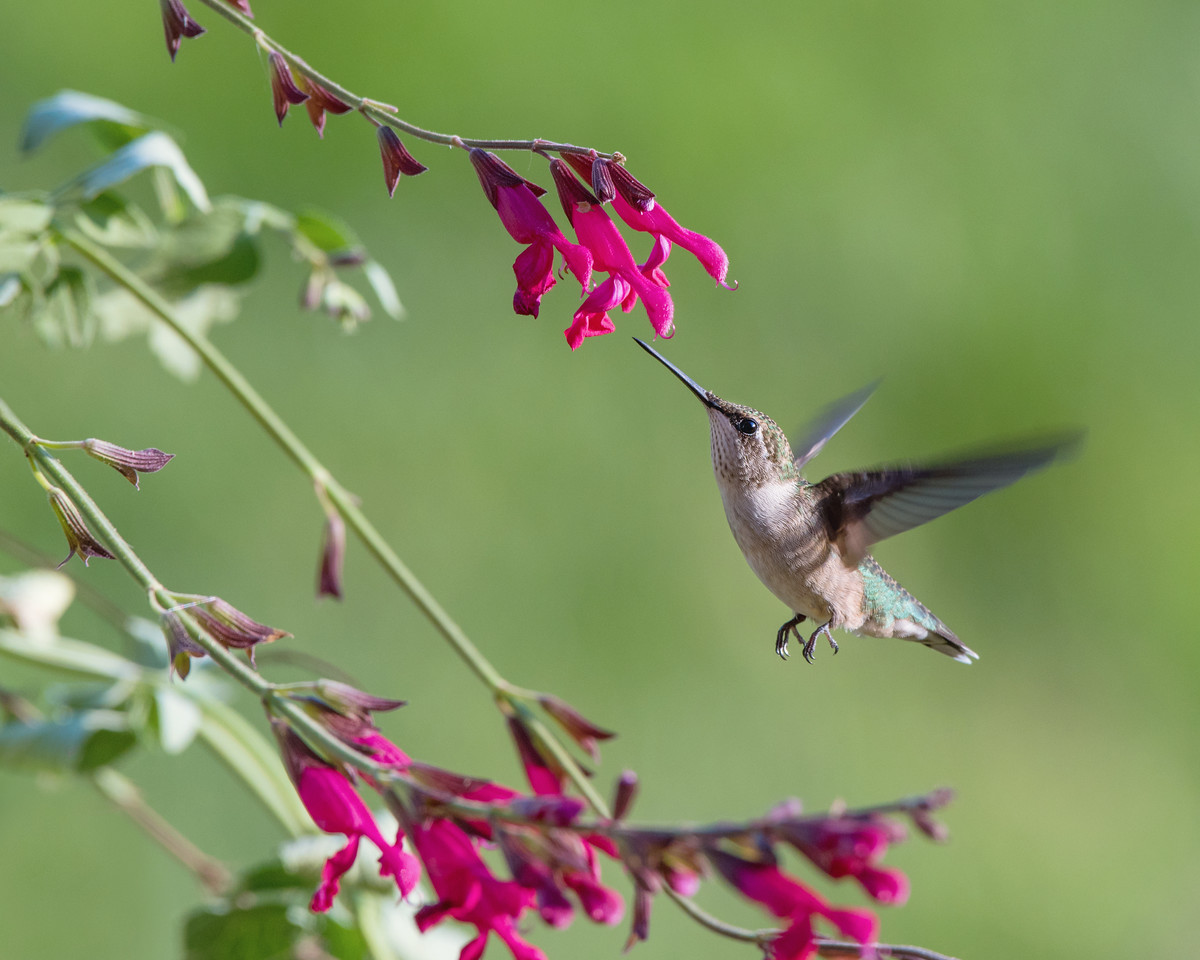 Hummingbird at Red Salvia 1