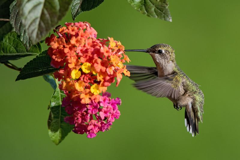 Hummingbird at Tutti Fruity Lantana