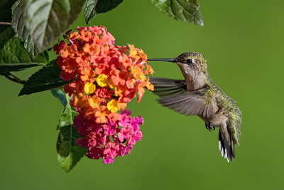 Hummingbird at Tutti Fruity Lantana