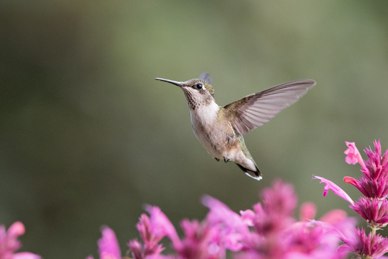Ruby-throated hummingbird at pink salvia 1