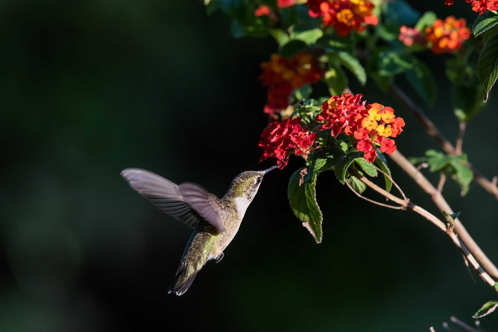 Hummingbird at red lantana