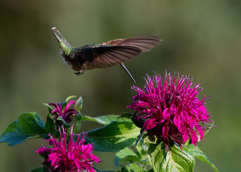 Hummingbird at Bee Balm