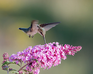 Hummingibrd at Pink Butterfly Bush 2