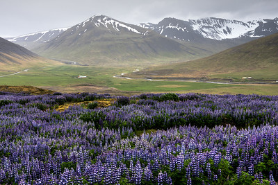 Lupines in the Westfjords