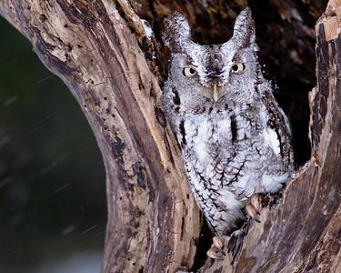 Eastern Screech Owl 1