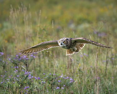 Great Horned Owl in Flight 2
