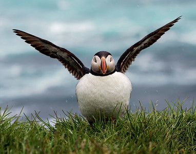 Atlantic Puffin 4