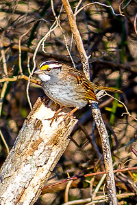 White -throated Sparrow