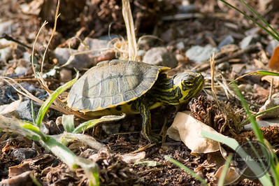 Juvenile Slider Turtle