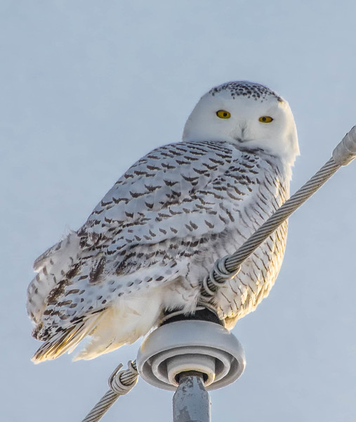 Snowy Owl on a pole