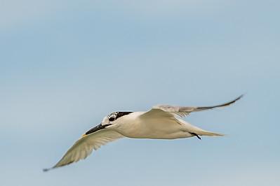 Gulled-billed Tern