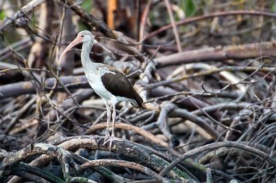 White Ibis (juvenile)