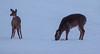 16Jan18 deer-5